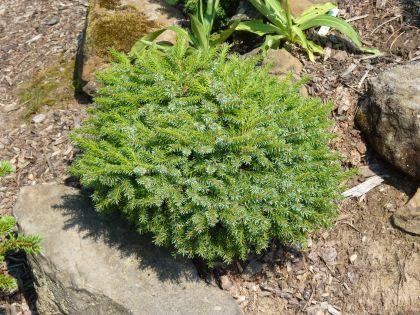 Picea omorika Treblicensis