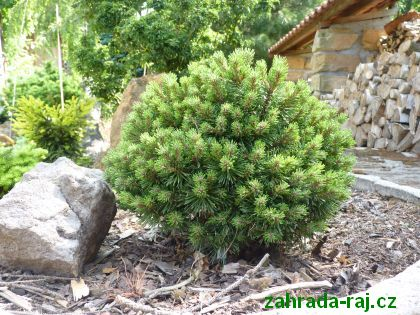 carovenik Pinus mugo ´Suzi´
