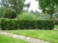 Taxus baccata -
