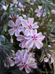 Phlox subulata ´Candy Stripes´