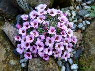 Saxifraga ´Allendale Comet´